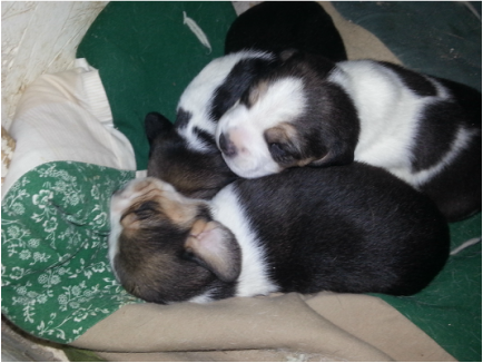 Mini Beagle Puppies Picture
