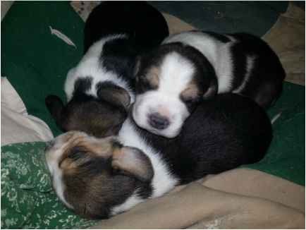 Pocket Beagle Puppies Picture