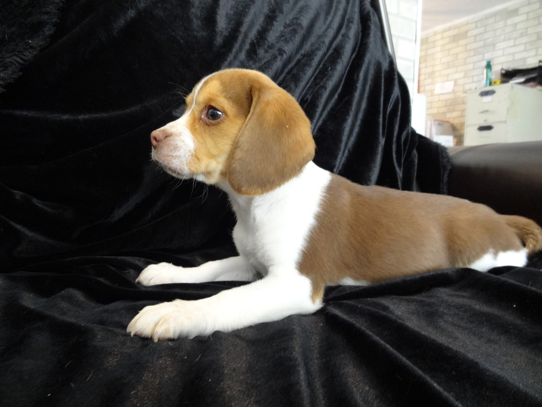 Playful Pocket Beagles Puppies For Sale ~ Playful Cute ...