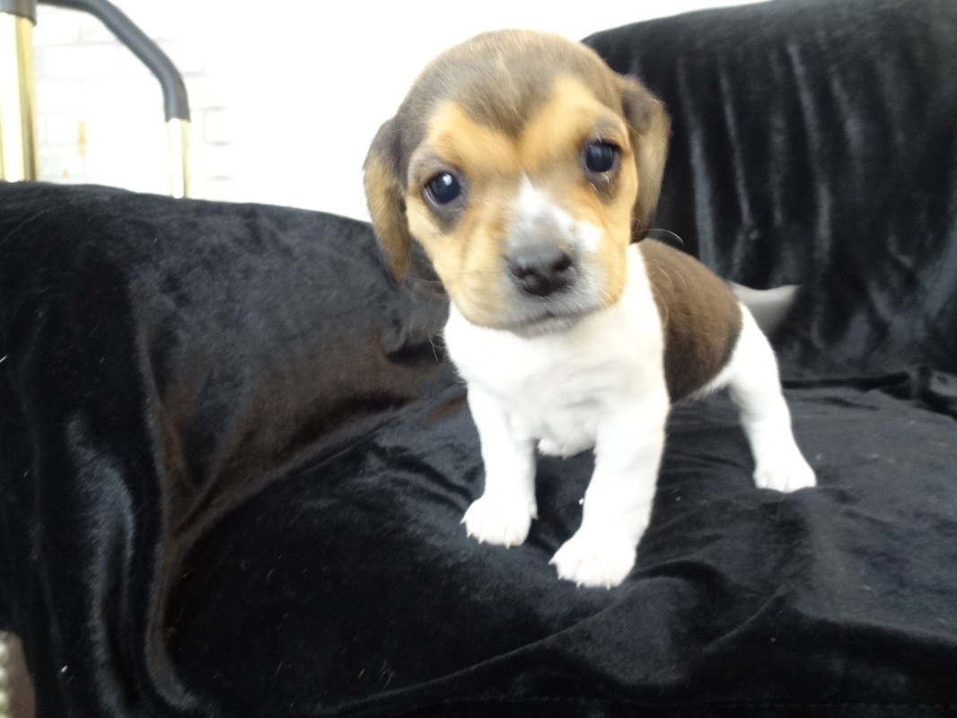 Previous Pocket Beagle Puppy Litters For Sale Pocket Beagles