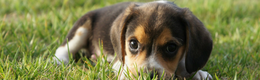 Simple Tiny Beagle Adorable Dog - 1353385331  Image_23196  .jpg